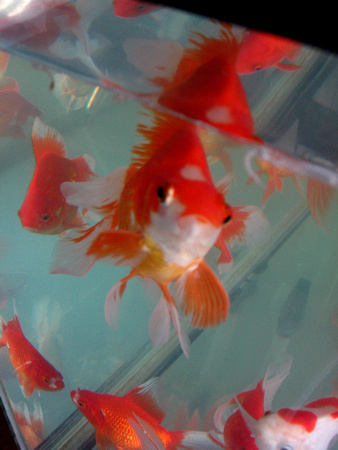 Goldfish Art_1368